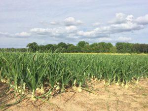 Vidalia Onions in the field